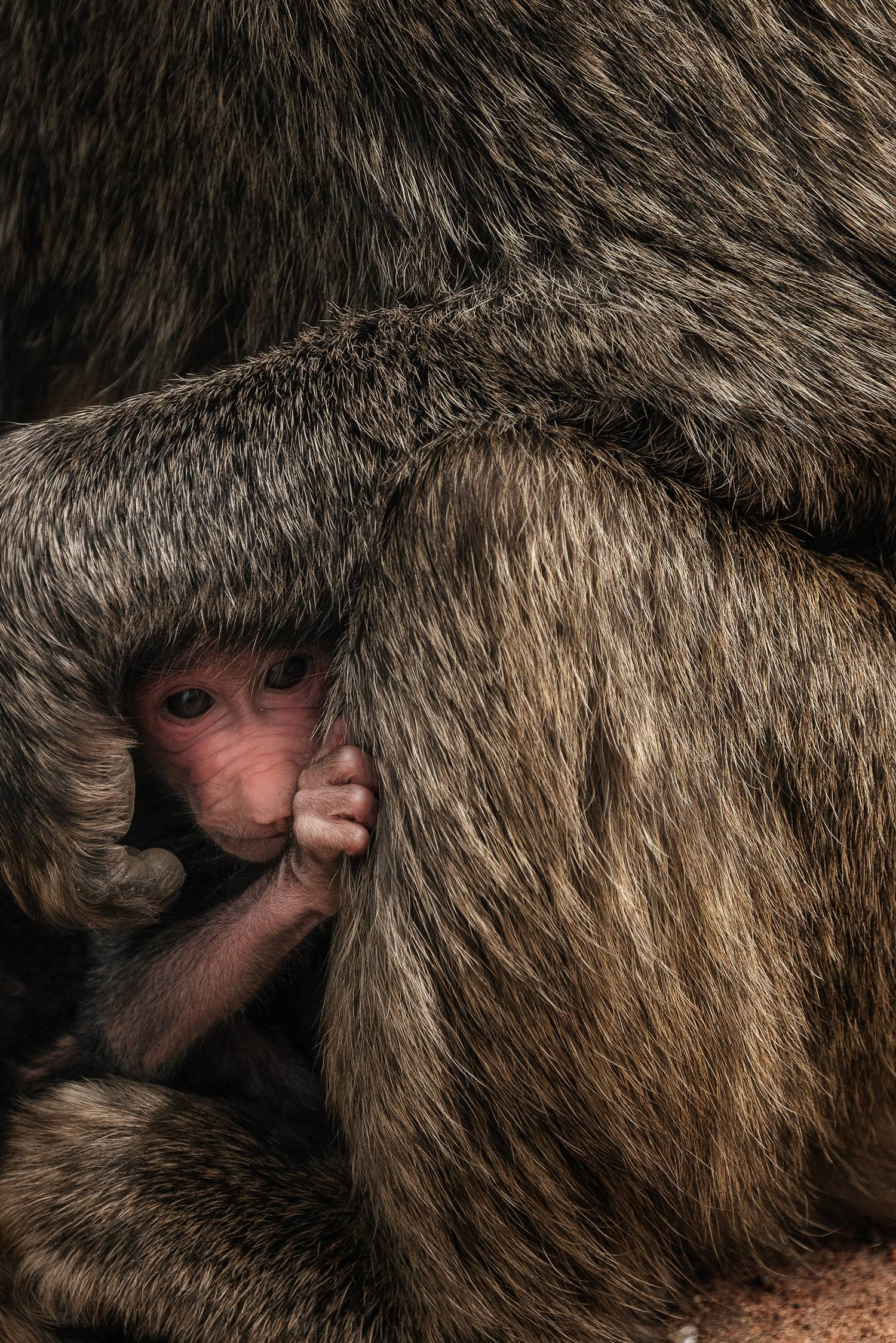Newborn baby hides next to mother, Tanzania © Chris Schmid