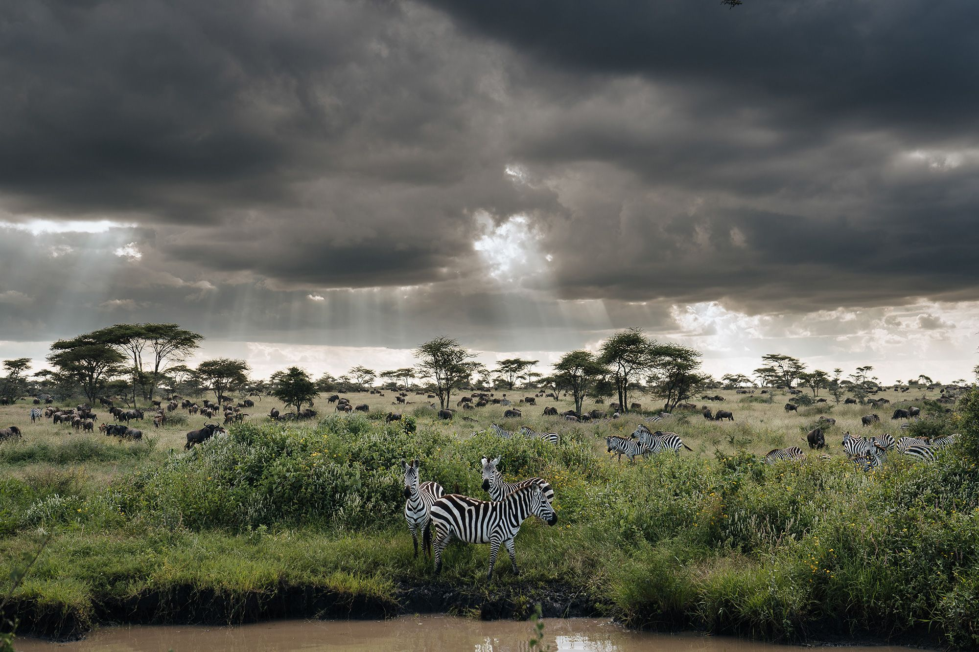 Zebras gathering by drinking pool © Chris Schmid